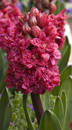 Hyacinth, what a rich raspberry color