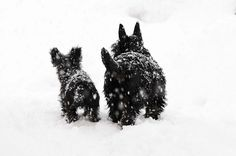 Snow scotties.