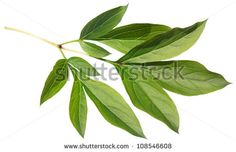 red peony leaves - Google Search