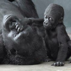 Baby gorilla patting its mother's face.