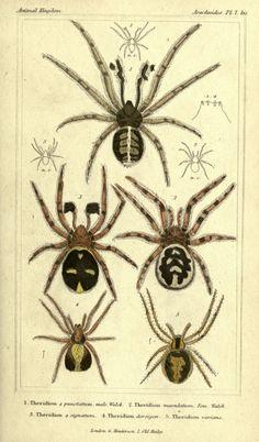 The animal kingdom, arranged according to its organization London :G. Henderson,1834. biodiversitylibrary.org/page/2459264