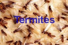 Are you trying to prevent a termite infestation? Here are a few natural home remedies for termite control that work wonderfully as prev Termite Damage, Termite Control, Pest Control, Drywood Termites, Edible Insects, Insects, Animales, Animal Kingdom, Cleaning