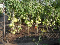 Индетерминантные помидоры в открытом грунте