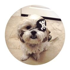 #pirate #shihtzu #butters (Taken with instagram)