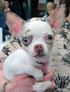 To say that Farrah's big blue eyes are stunning is an understatement. #dogs #chihuahua
