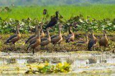 Lesser Whistling Ducks stock photo