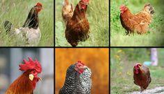Titelbild beliebteste Hühnerrassen