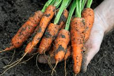10 ways to deter carrot root fly - Plant features: Fruit & veg - gardenersworld.com