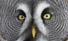 Great Grey owl (Strix nebulosa), Tornio, Finland, by Markus Varesvuo Strix Nebulosa, World Birds, Great Grey Owl, British Wildlife, Gray Owl, Pewter Color, Bird Perch, Patterns In Nature, My Animal