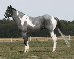 Blue Roan Paint! Beautiful!                              …                                                                                                                                                     More