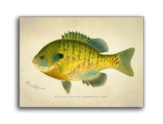 This chromolithograph of a Blue Gill Sun Fish (Lepomis Pallidus) was created byåÊartist S. Denton (Sherman Foote) born in 1856 and died in 1937 Well known for his exquisite drawings of fish, birds, Antique Prints, Vintage Prints, Fish Pillow, Fish Wall Art, Fish Artwork, Wood Fish, Fish Drawings, Fish Print, Canvas Art Prints