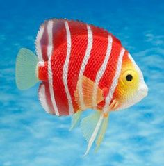 Underwater Creatures, Ocean Creatures, Beautiful Sea Creatures, Animals Beautiful, Saltwater Aquarium, Aquarium Fish, Jellyfish Aquarium, Saltwater Tank, Colorful Fish