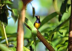 Olive-backed Sunbird (Nectarine jugularis). Location: Cebu, Philippines. Male (below).