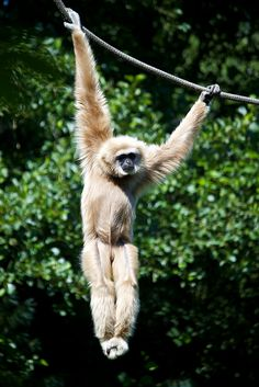 Lar Gibbon - photo by Michelle Bender (Missud), via Flickr;  Olmense Zoo, Hasselt, Limberg, Belgium