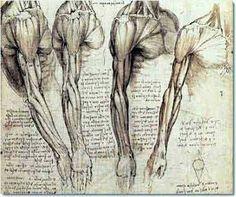 Leonardo da Vinci muscle drawings