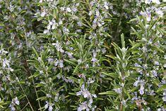 Natural Herbal Remedies, Rosemary
