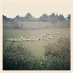 Our flock of sheep, Spoleto, Italy.