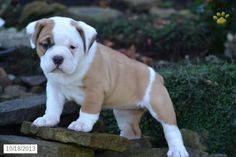 Beabull puppy for sale in applecreek oh beabull puppy for sale