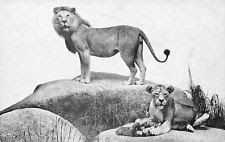 Chicago IllinoisNatural History MuseumAfrican Lion1910 Postcard