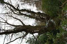 De Queen Oak, de jongere vrouw van de koning van Fairhaven Garden. Grappig om weten is dat in een straal van 5 meter rond de boom niets groeit. Dit omdat mevrouw alles uit de bodem slurpt!