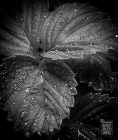 Strawberry Leaves Black & White Nature Fine by DenWestPhotography