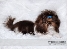 Divinity - Chocolate & White Parti marked Female -Tiny Teacup Imperial Shih tzu Puppies for available for Sale at fairytailshihtzu.com