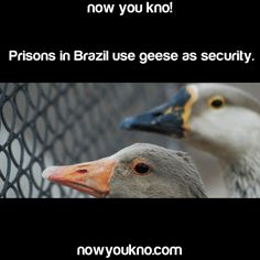 I absolutely believe this. Geese are all jerks and are terrifying.