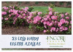 For more than 15 years Encore Azaleas have been tested in gardens, trials, and plant nurseries across the Southeast and have proven to be low-maintenance solutions for multi-season landscape color. See a full listing of our cold hardy varieties here!