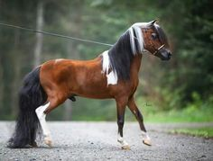 World Grand Champion mini horse.we'll he deserves it he's one snappy dude All The Pretty Horses, Beautiful Horses, Animals Beautiful, Rio Grande Do Sul, Miniature Ponies, Baby Horses, Mini Horses, Horse Facts, Gado