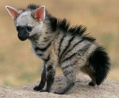 Erdwolf: A mixture between hyena and aardvark Baby Exotic Animals, Unusual Animals, Rare Animals, Exotic Pets, Cute Baby Animals, Animals Beautiful, Animals And Pets, Funny Animals, Cutest Animals