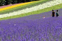 Lavender in Hokkaido, Japan.