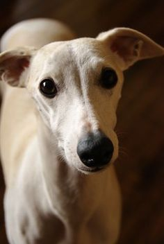 Who can resist a velvet face with those deer eyes Perro Whippet, Whippet Puppies, Beautiful Dogs, Animals Beautiful, Cute Animals, Baby Animals, Wild Animals, Pet Dogs, Dogs And Puppies