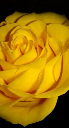 yellow rose <3