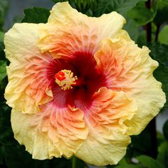 "Tropical Hibiscus 'Cheerful Heart' Giant hibiscus  will brighten anyone's day with its huge 8-10"" ruffly yellow singles with a soft red eye that softly blends into the yellow. 'Cheerful Heart' is the child of two giant hibiscus 'Moonstruck' and 'Strawberry Cream.' The bush is upright and pretty, and easily holds up the giant flowers. Released from HVH in 2011. Hybridizer: C. Black"