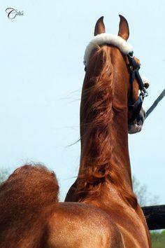 SA Tomcat American Saddlebred Stallion...WOW
