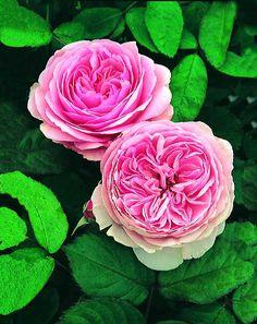 バラ苗 ジェフ・ハミルトン(大苗予約)7号鉢植え イングリッシュローズ(デビッド・オースチンローズ) つるバラ