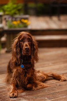 Irish Setter by Chris Ricker, via 500px heavenly lovely dogs that feel so wonderful to touch.