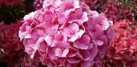 How to Root a Cutting From a Hydrangea Bush