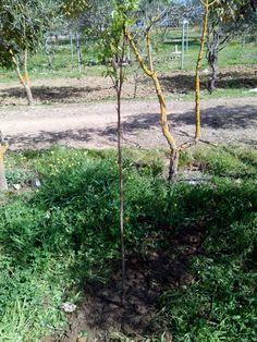 Albaricoquero ya plantado.