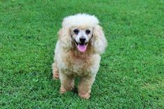 Check out Darla Rose's profile on AllPaws.com and help her get adopted! Darla Rose is an adorable Dog that needs a new home. https://www.allpaws.com/adopt-a-dog/poodle-unknown-type/6868302?social_ref=pinterest
