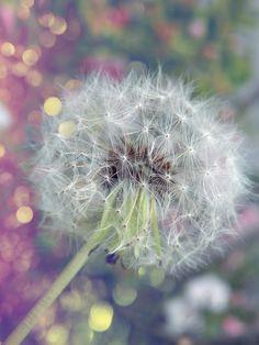 Make A Wish. Dandelion Clock, Dandelion Wish, Dandelion Flower, Shooting Star Wish, Taraxacum, Make A Wish, How To Make, Pretty Pictures, Pretty Pics