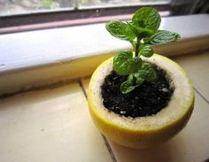 Lovely and smart. Growing seedlings in a lemon (Apartment Therapy)