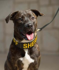 "On July 13, 2017 a brindle Pit Bull mix named Kara was sworn in to the Colorado Mounted Rangers. The trained narcotics detection dog and her partner Dawn Havens are the state's first-ever ""Pit Bull"" K9 Unit. New York and Ohio …"