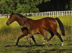 holsteiner horse - Google Search