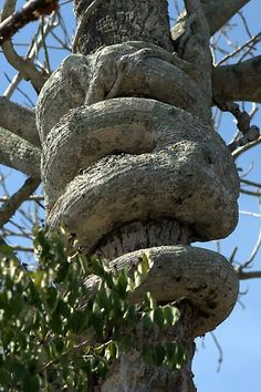 [orginial_title] – Nature And Science Strangler Fig Tree Natural Art by Virginia N. Fred awesome Strangler Fig Tree Natural Art by Virginia N. One Tree, Tree Of Life, Weird Trees, Dame Nature, Twisted Tree, Unique Trees, Nature Tree, Tree Forest, Belleza Natural