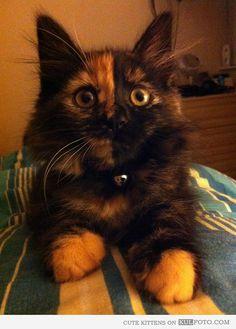 The Phantom Of The Opera Cute Cat Funny Kitten Looking Like