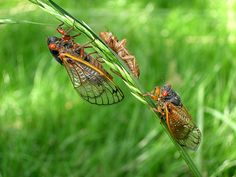 Cicada Time! A large brood of 17-year periodical cicadas (genus Magicicada) is expected to emerge this spring across portions of eastern North America. These insects spend up to 13 or 17 years of their life cycle living underground. Then, they emerge in large numbers to breed.