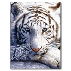 ==>Discount          	Wild White Tiger Postcard           	Wild White Tiger Postcard so please read the important details before your purchasing anyway here is the best buyDiscount Deals          	Wild White Tiger Postcard today easy to Shops & Purchase Online - transferred directly secure and...Cleck See More >>> http://www.zazzle.com/wild_white_tiger_postcard-239406301562572799?rf=238627982471231924&zbar=1&tc=terrest