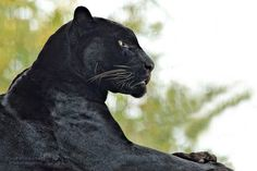 All sizes   Black Jaguar in Profile at the Memphis Zoo   Flickr - Photo Sharing!