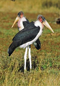 Marabou Stork, Kruger National Park, South-Africa. BelAfrique - your personal travel planner - www.BelAfrique.com